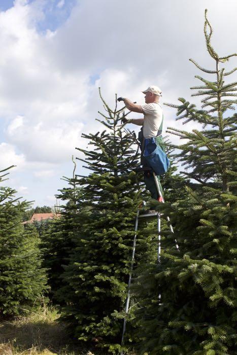 Weihnachtsbaumpflege